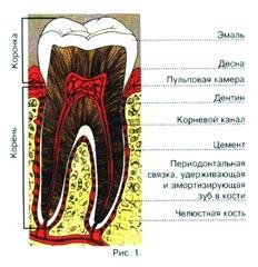Строение зуба и тканей, прилегающих к нему