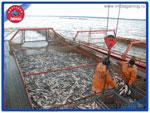 Живая рыба от производителя «Миусский лиман»