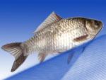 Продажа карася живого, мороженого, охлажденного. Живая рыба от производителя «Миусский лиман»