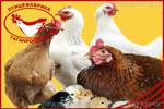 Куры несушки. Яйцо куриное от производителя