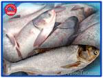 Толстолоб. Живая рыба от производителя «Миусский лиман»