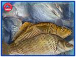 Карп. Живая рыба от производителя «Миусский лиман»